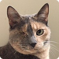 Domestic Shorthair Cat for adoption in New Windsor, New York - Bailey