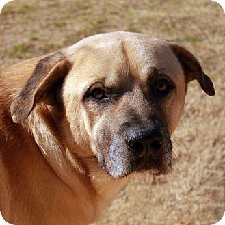 English Mastiff/Labrador Retriever Mix Dog for adoption in Waco, Texas - Gilligan