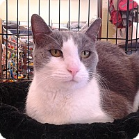 Domestic Shorthair Cat for adoption in Richmond, Virginia - Katherine