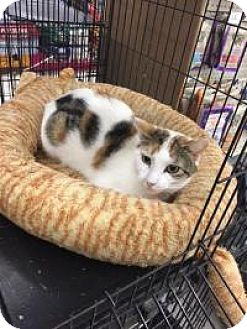 Calico Cat for adoption in Bear, Delaware - Harper