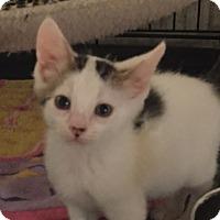Adopt A Pet :: Houdini - Ortonville, MI