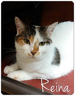 Domestic Shorthair Cat for adoption in Flushing, New York - Reina