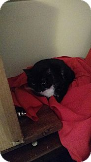 Domestic Shorthair Cat for adoption in Clay, New York - James