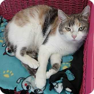 Domestic Shorthair Cat for adoption in Austintown, Ohio - Alice