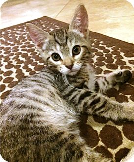 Domestic Shorthair Kitten for adoption in Orange, California - Jasper