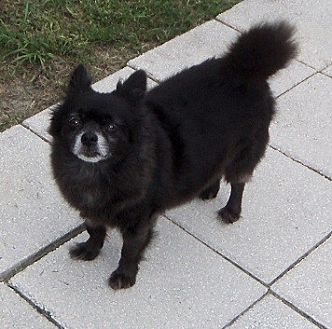 Chihuahua/Pomeranian Mix Dog for adoption in Spring Hill, Florida - Lucky