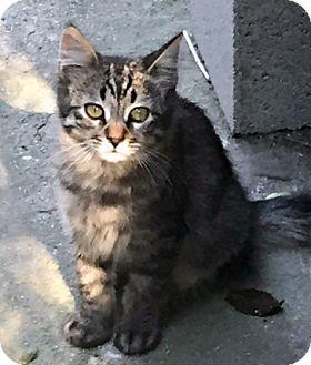 Domestic Shorthair Kitten for adoption in Santa Monica, California - Sam