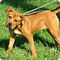Mastiff Mix Dog for adoption in tama, Iowa - Butternut