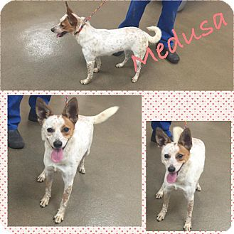Terrier (Unknown Type, Small) Mix Dog for adoption in Steger, Illinois - Medusa