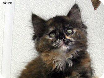 Domestic Mediumhair Kitten for adoption in Republic, Washington - Crimson