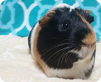 Guinea Pig for adoption in South Bend, Indiana - Checkers