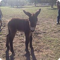 Adopt A Pet :: Nestor - Austin, TX
