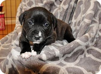 Pit Bull Terrier/Boxer Mix Puppy for adoption in Alpharetta, Georgia - LaFonda