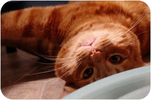 Domestic Shorthair Cat for adoption in Fredericton, New Brunswick - Mango