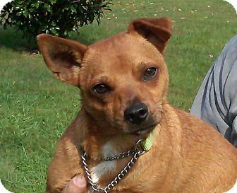 Basenji Mix Dog for adoption in Catharpin, Virginia - Chip