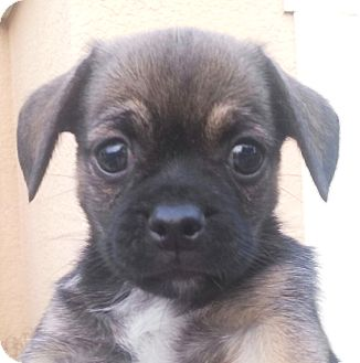 Pug/Dachshund Mix Puppy for adoption in Orlando, Florida - Lele#3F