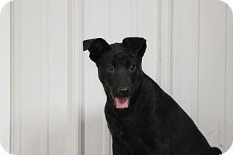 Shepherd (Unknown Type) Mix Puppy for adoption in Brattleboro, Vermont - Hope