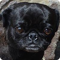 Adopt A Pet :: Fizz - Bridgeton, MO