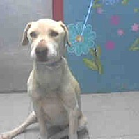 Labrador Retriever Dog for adoption in West Los Angeles, California - Daisy