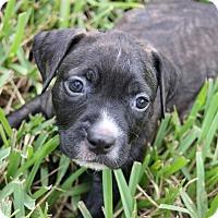 Adopt A Pet :: Bentley - Ft. Myers, FL