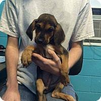 Adopt A Pet :: Gunner - Charlestown, RI