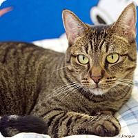 Adopt A Pet :: Snickers - St Louis, MO
