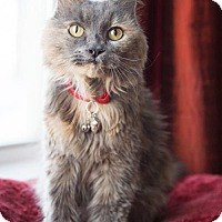 Domestic Mediumhair Cat for adoption in Minneapolis, Minnesota - Maxie - The Lukas Project
