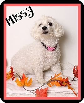 Poodle (Miniature)/Maltese Mix Dog for adoption in Covington, Louisiana - Missy