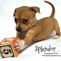 Adopt A Pet :: Splendor - Simi Valley, CA