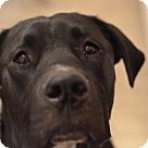 Adopt A Pet :: Marmaduke