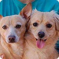Terrier (Unknown Type, Small) Mix Dog for adoption in Las Vegas, Nevada - Simon