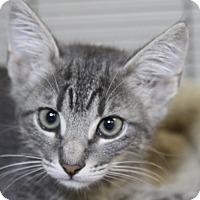 Adopt A Pet :: Sheldon Cooper - Sarasota, FL