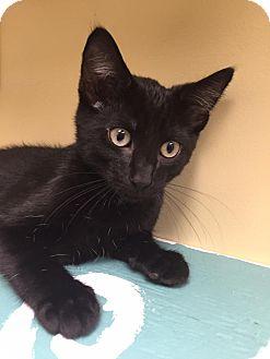 Domestic Shorthair Kitten for adoption in Maryville, Missouri - Mr Grace