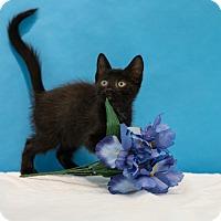 Domestic Shorthair Cat for adoption in Houston, Texas - Joker