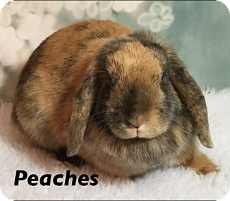 Lop, Holland Mix for adoption in Auburn, California - Peaches