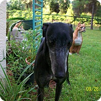 Greyhound Dog for adoption in Sarasota, Florida - RJ's Etna