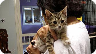 Domestic Shorthair Kitten for adoption in Port Clinton, Ohio - Cruiser