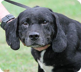 Labrador Retriever/Hound (Unknown Type) Mix Dog for adoption in Marietta, Ohio - Oliver (Neutered)