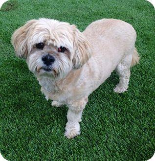 Lhasa Apso Dog for adoption in Temecula, California - CP