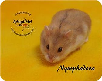 Hamster for adoption in Topeka, Kansas - Nymphadora