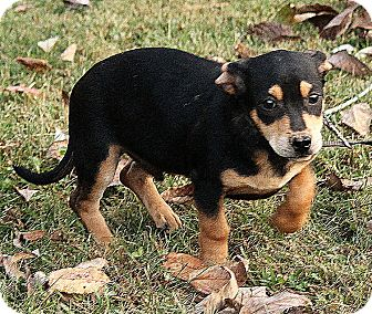 Black and Tan Coonhound Mix Puppy for adoption in Plainfield, Connecticut - Oliver