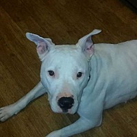 Pit Bull Terrier Mix Dog for adoption in South Bend, Indiana - Kiki