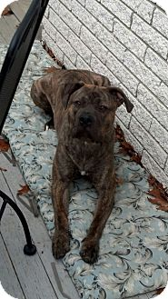 Mastiff/Pit Bull Terrier Mix Dog for adoption in SHELBY TWP, Michigan - Slick