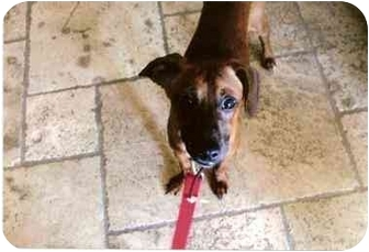 Miniature Pinscher/Dachshund Mix Dog for adoption in Scottsdale, Arizona - Murphy