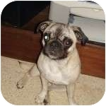 Pug Dog for adoption in Windermere, Florida - Pringle