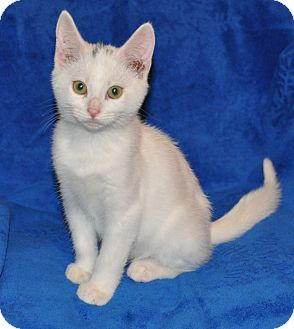 Domestic Shorthair Kitten for adoption in Richmond, Virginia - Dice