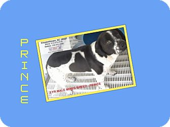Foxhound/Foxhound Mix Dog for adoption in Dallas, North Carolina - PRINCE