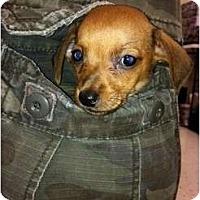 Adopt A Pet :: Polly - Ooltewah, TN