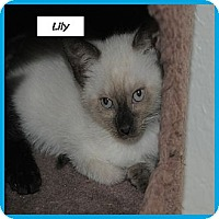 Adopt A Pet :: Lily - Miami, FL