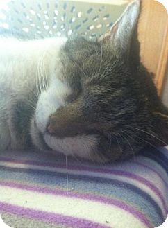 Domestic Shorthair Cat for adoption in New Bedford, Massachusetts - Tony